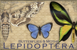 EN063G - Magnets, Small - Vintage Lepidoptera