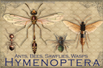 EN064G - Magnets, Small - Vintage Hymenoptera