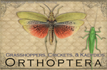 EN069G - Magnets, Small - Vintage Orthoptera