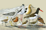 WC402G - Magnets, Small - Shorebirds